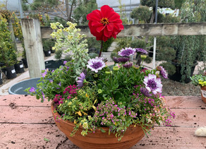 Color Pots with Holly