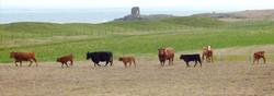 Stabiliser Cattle at Ardross