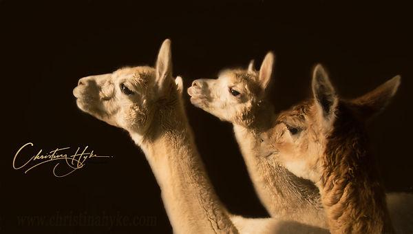 5fb-DO_NOT_COPY_Alpaca_Trio_©Christina_H
