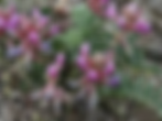 astragalus flowering.png