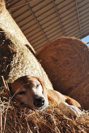 Hund Korny sonnt sich im Heu