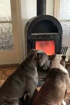 Bullies beim Wärmen vorm Ofen