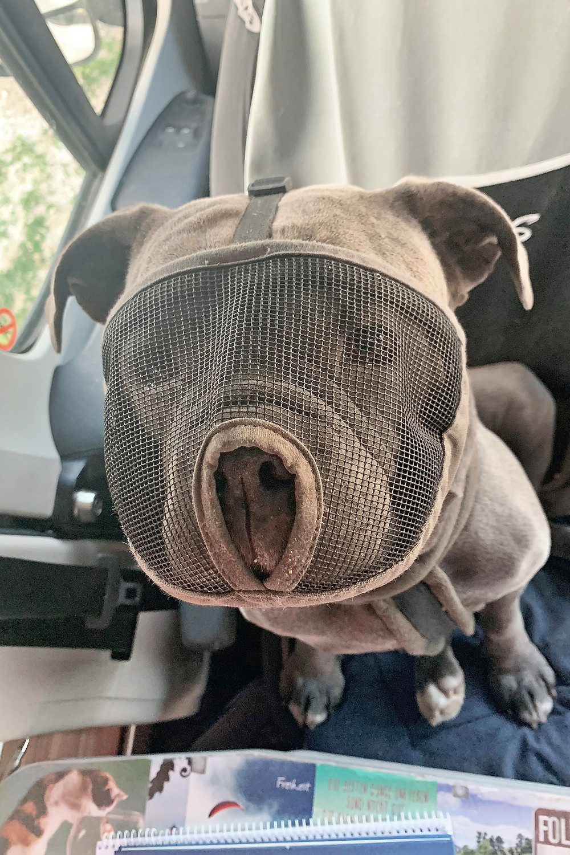 Hund Bulldogge Vandog mit Maulkorb