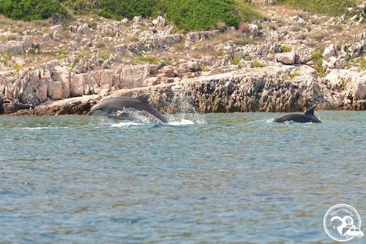 Delfine im Meer in Kroatien