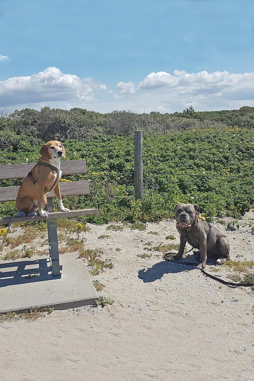 Hunde. Bulldogge und Straßenhund. Angsthunde Angstbeisser Training