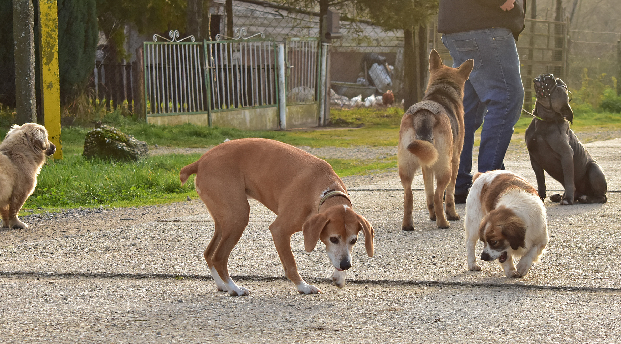Bulldogge Hund sitzt auf Straße mit fremden Hunden