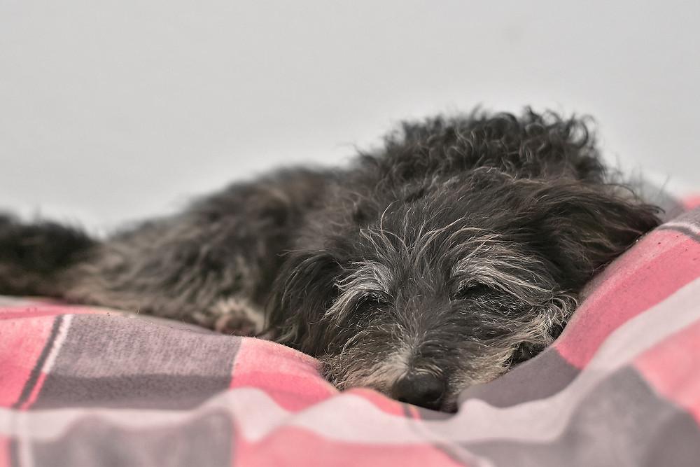 Seelenhund Mázli, die auf einer Decke schläft.