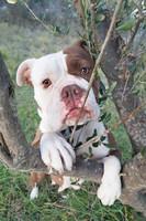 Bulldogge auf Olivenzweig Kroatien