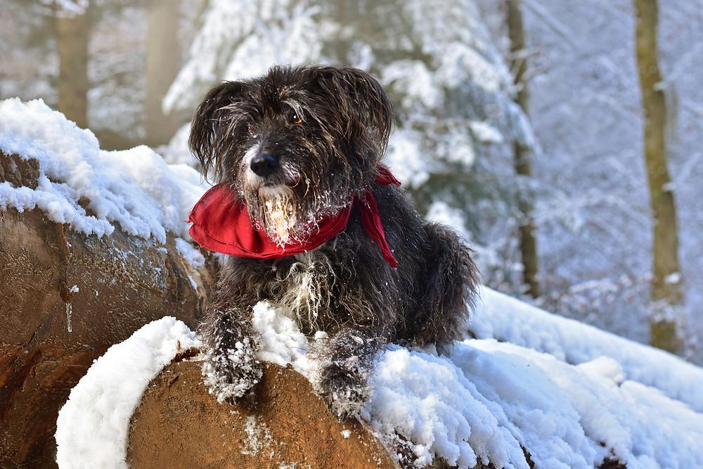 Seelenhund Mázli, die auf einem Baumstamm im Schnee liegt