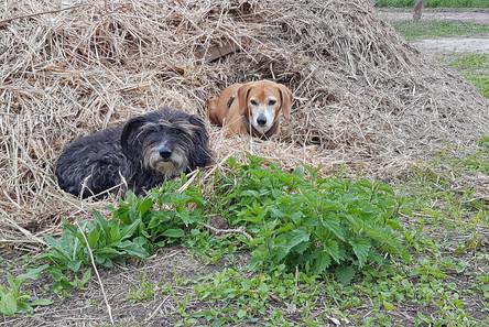 Müsly & Korny liegen draußen im Stroh und warten.