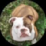 Vandog, Hund, Bulldogge, Vierbeiner, Chelly
