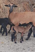 Zicklein bei Mama Ziege trinken auf dem Hof