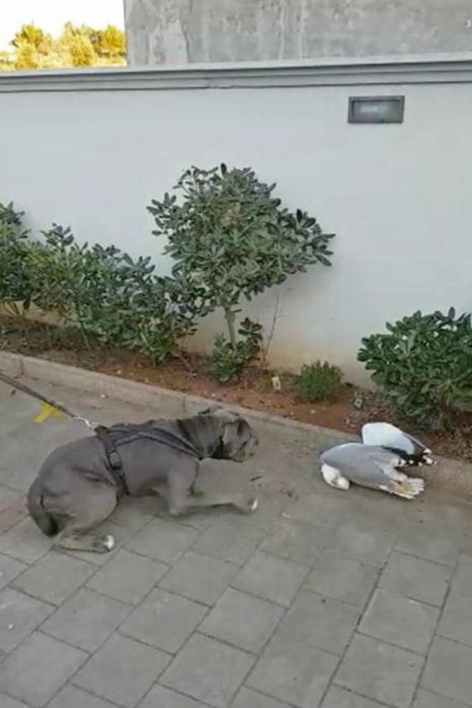 Hund, Bulldogge angst vor toter Möve