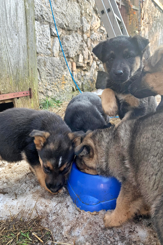 Welpen wuseln über Hundefutternapf