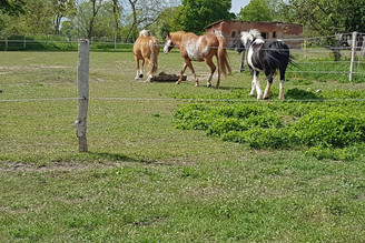 Drei Pferde laufen über die Koppel.
