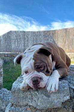Chelly Bulldogge Hund mit Schmollblick