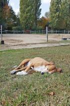Hund Korny beim Mittagschlaf auf Wiese vor Pferdestall