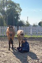Aussteigerin Jess bei Pferden Morganhorse Queeny und Rainy