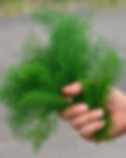 wilder-fenchel-heilpflanze-staengel.jpg