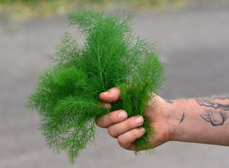 Heilpflanze Fenchel