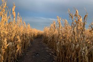 Corn Maze in Iowa 2019