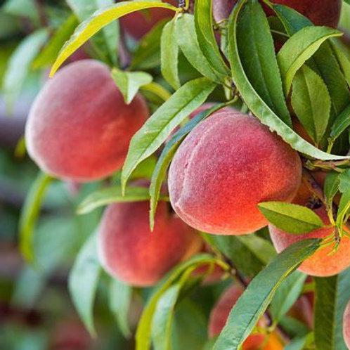 Heirloom Peach Trees