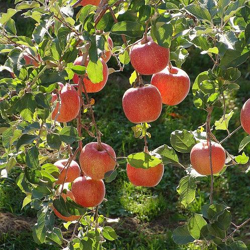 Heirloom Apple Trees