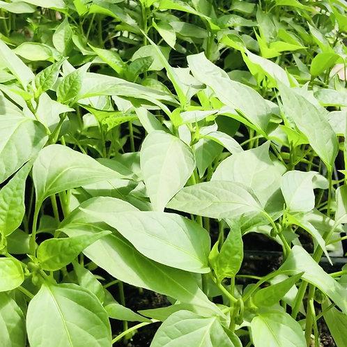 Hopi Tutskwa CSA Garden Plant Share: May 2020