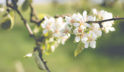 pear-blossom-1548475_1920_edited