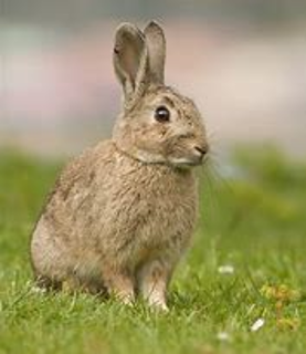 European rabbits in Australia: an invasive species