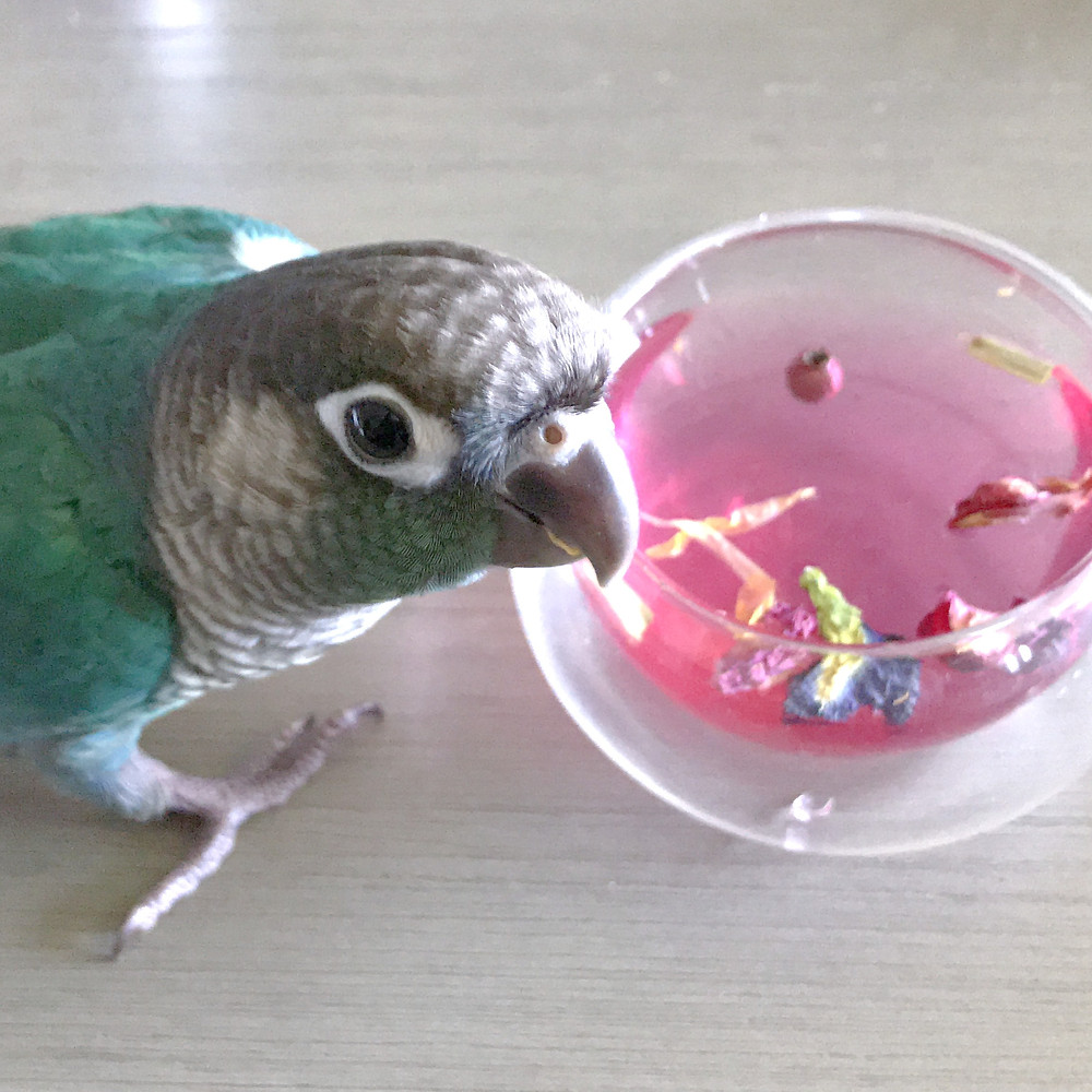 Turquoise green Cheek Conure with Avian Tea