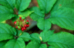 american-ginseng-close-up-of-fruit.jpg