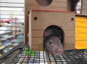 Liten mus