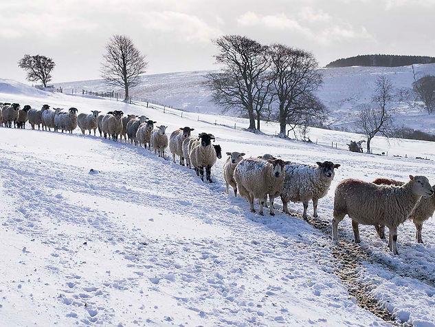Sheep in Winter, Egglestone_4042441.jpg