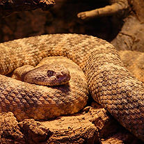 SNAKEspotted-rattlesnake-54002_1280.jpg