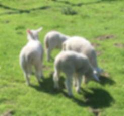 SHEEP-IMG_2505.jpg