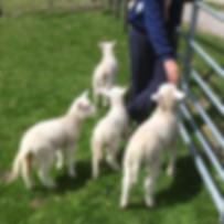 SHEEP-IMG_2287.png