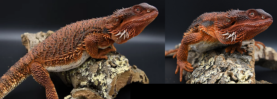 SHOP BEARDED DRAGONS.PNG