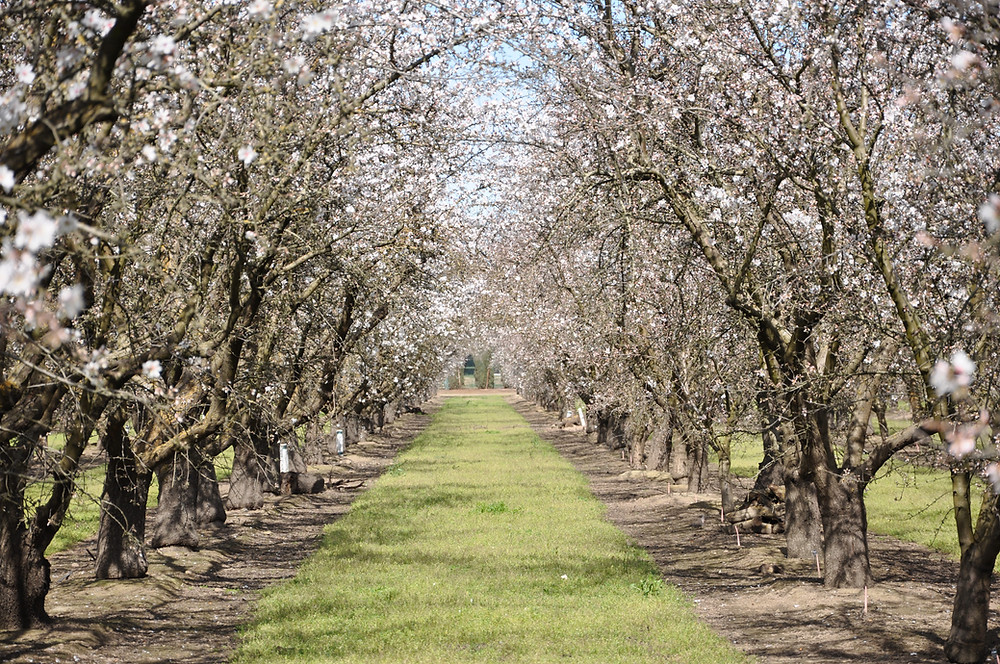 Image of a tree nut orchard in spring, full of blossoms.