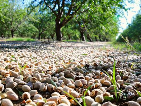 Beginning the Tree Nut Harvest