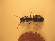 fourmis charentières
