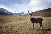 Mountains and Deer