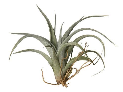 Tillandsia Fresnelloides