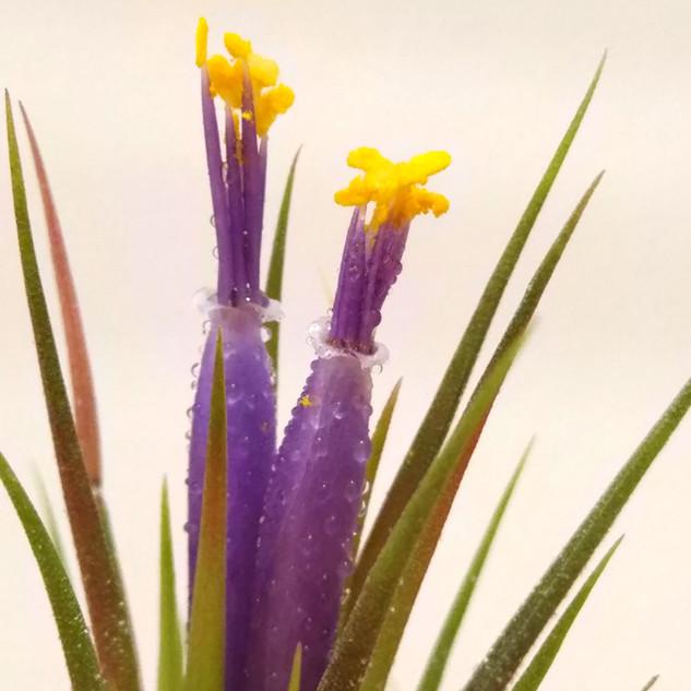 ионанта-цветок.jpg