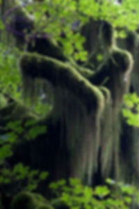 Испанский мох на дереве