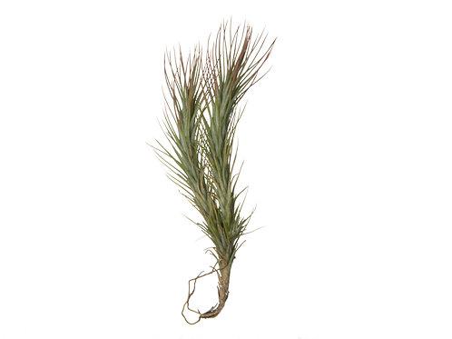 Тилландсия разветвлённая (Tillandsia Funckiana branched)