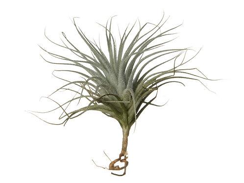Тилландсия Текторум (Tillandsia Tectorum)