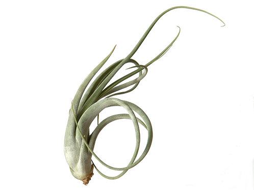 Тилландсия Цирцината (Tillandsia Circinata)