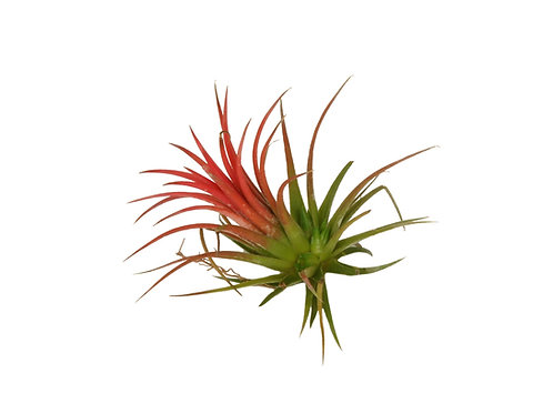 Тилландсия ионанта ред (Tillandsia Ionantha red)