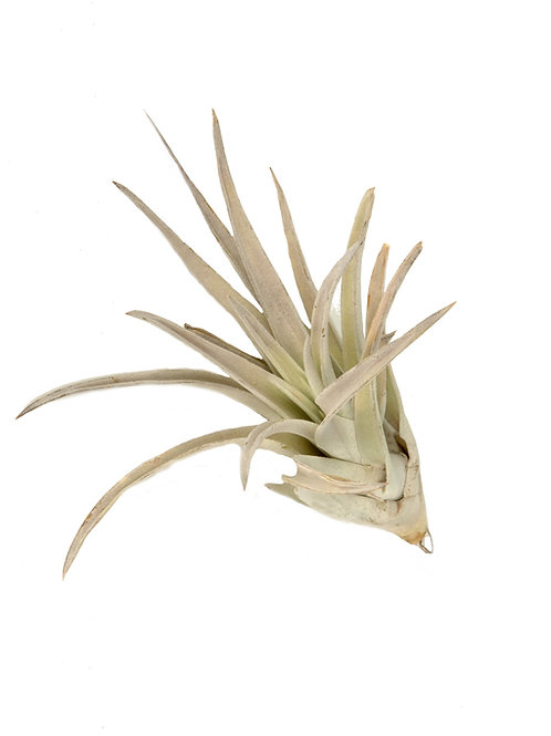 Тилландсия Харцици (Tillandsia Harrisii)